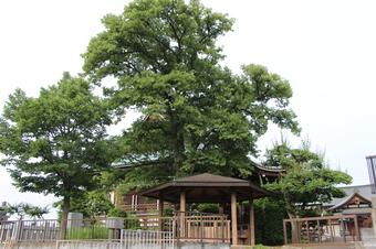 全徳寺の菩提樹