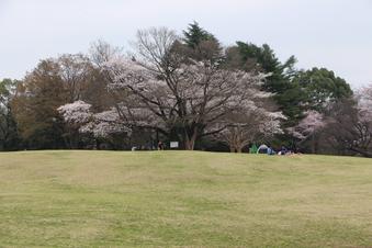 航空公園の桜#386898