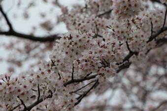 航空公園の桜#386900