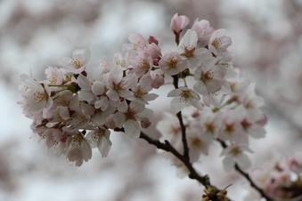 航空公園の桜#386901