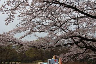 航空公園の桜#386902