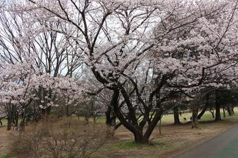 航空公園の桜#386904