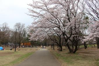 航空公園の桜#386905
