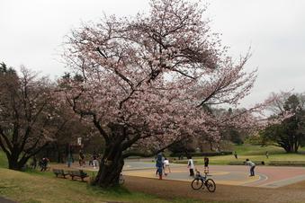 航空公園の桜#386906