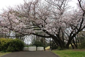 航空公園の桜#386907