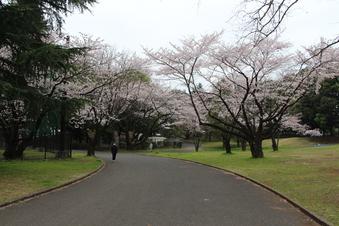 航空公園の桜#386890