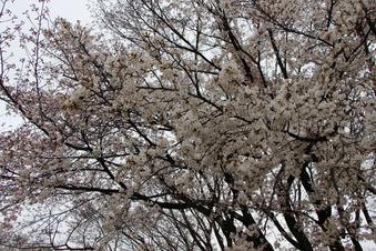 航空公園の桜#386912