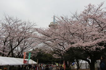航空公園の桜#386915