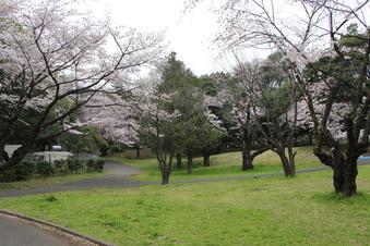 航空公園の桜#386891