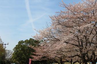 航空公園の桜#386918