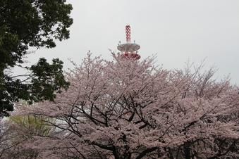 航空公園の桜#386892