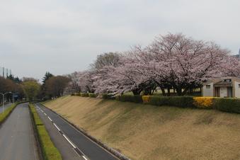 航空公園の桜#386893