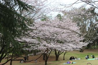 航空公園の桜#386897
