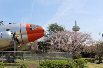 航空公園の桜