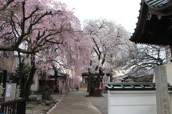 新光寺の桜