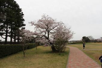 狭山湖周辺の桜#386924