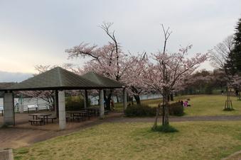 狭山湖周辺の桜#386933