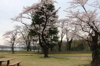 狭山湖周辺の桜#386934