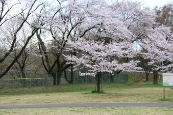 狭山湖周辺の桜#386935