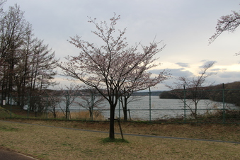 狭山湖周辺の桜#386936
