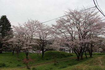 狭山湖周辺の桜#386939