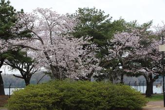 狭山湖周辺の桜#386926