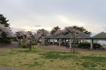 狭山湖周辺の桜#386927