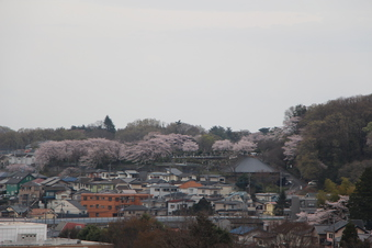 狭山湖周辺の桜#386929