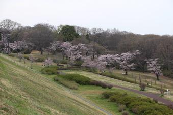 狭山湖周辺の桜#386930