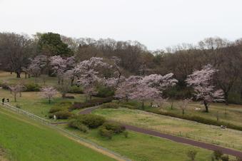 狭山湖周辺の桜#386931