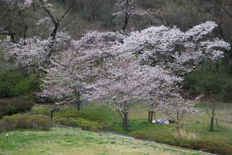 狭山湖周辺の桜#386932