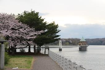 狭山湖周辺の桜