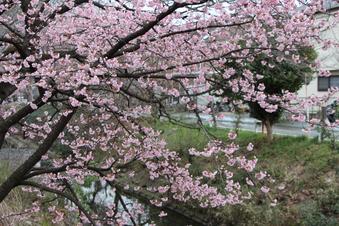 東川沿いの桜#386941
