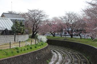 東川沿いの桜#386951