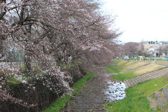 東川沿いの桜#386954