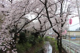 東川沿いの桜#386956