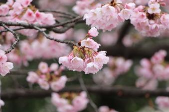 東川沿いの桜#386942