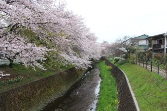 東川沿いの桜#386960