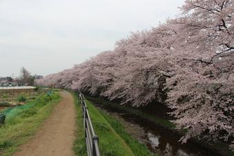 東川沿いの桜#386963