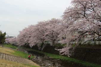 東川沿いの桜#386964