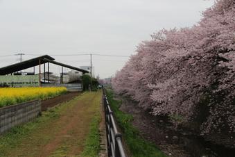 東川沿いの桜#386966