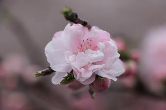 東川沿いの桜#386969