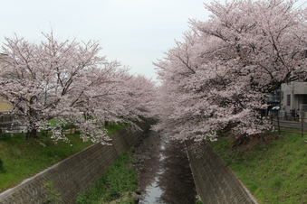 東川沿いの桜#386970