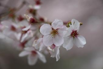 東川沿いの桜#386972