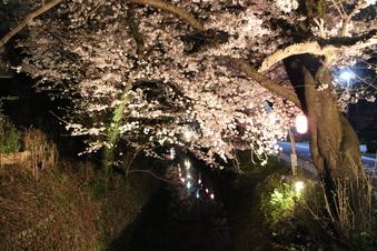 東川沿いの桜#386982
