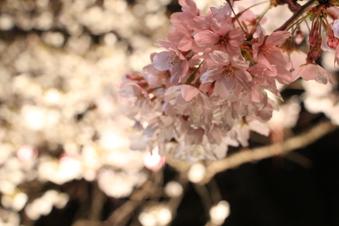 東川沿いの桜#386984