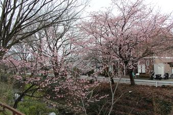 東川沿いの桜#386945
