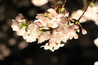 東川沿いの桜#386990