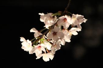 東川沿いの桜#386992