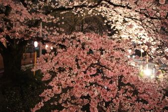 東川沿いの桜#386995